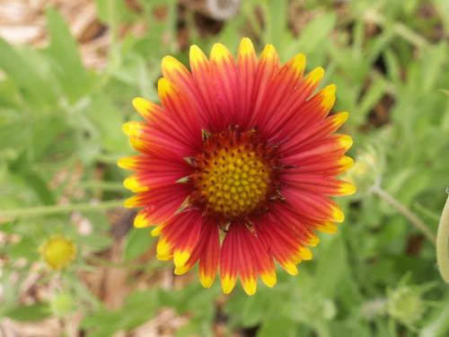 Gaillardia 1 at Whispering Pines Park