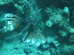 IMG_8513 (asorsz) Tags: fish dahab redsea egypt scuba diving scubadiving lionfish sinai