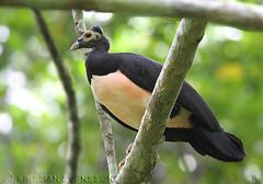 Maleo (Macrocephalon maleo) (macronyx) Tags: bird nature birds indonesia asia wildlife birding aves endangered sulawesi maleo fbwnewbird macrocephalon macrocephalonmaleo hammarhöna
