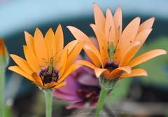 one up, one down (christiaan_25) Tags: orange flower green up bug insect down daisy africandaisy nymph katydid scudderia osteospermum scudderiafurcata forktailedbushkatydid capedaisy southafricandaisy