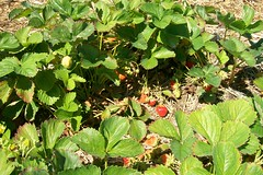spring 09 pics 029 (dadootdoots) Tags: spring strawberries farms organic