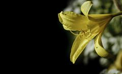 The yellow fellow (Henning_Christensen) Tags: flower awesome blomst awesomeness larvik grimstad henningchristensen larviktoppen morvigsanden