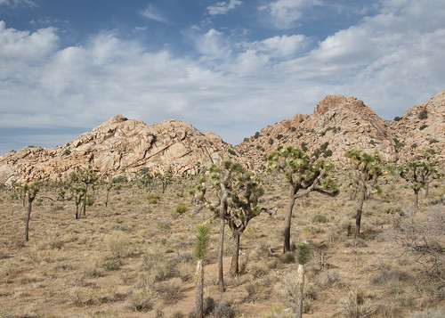 Joshua Trees and Rocks by you.