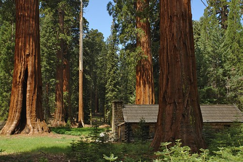 Giant Sequoias at Mariposa Grove