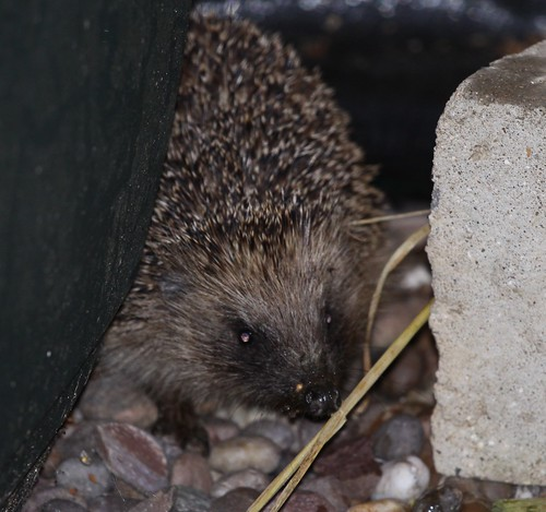 Hope - the Young Hedgehog