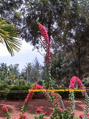 (...Vind...) Tags: flowers plants bangalore sapthagiri