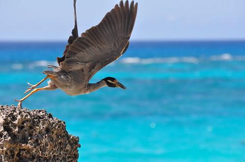フリー画像| 動物写真| 鳥類| 野鳥| シラガゴイ|       フリー素材|