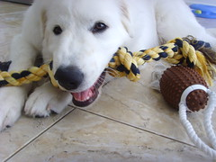 New Toys 11 (PolothePup) Tags: dog puppy great polo pyrenees greatpyrenees