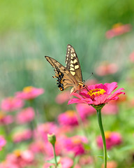 pink flower with a butterfly(Papilio machaon)     HPPT! (myu-myu) Tags: pink flower nature japan butterfly nikon explore nikkor swallowtailbutterfly naturesfinest  papiliomachaon  zinniaelegans  d700 nikkor105mmf28gvrmicro