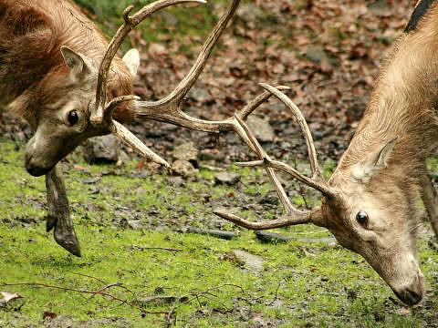 latest images of animal pere david's deer