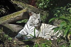 White Bengal Tiger (Truus & Zoo) Tags: netherlands animals zoo endangered whitetiger dierentuin bengaltiger dierenparkamersfoort pantheratigristigris bengaalsetijger koningstijger