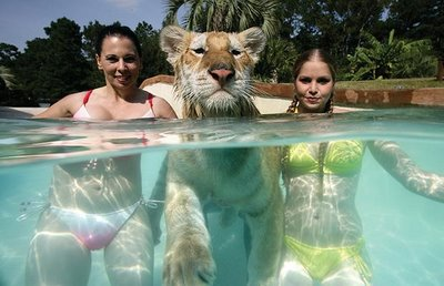 Swimming_with_Tigers_05