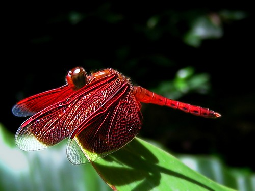 フリー画像| 節足動物| 昆虫| とんぼ/トンボ| 赤とんぼ|       フリー素材|