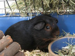 "Meet our new guinea-pig; ""Ollie""! (Ameliepie) Tags: friends pet cute animals guineapig"