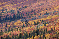 ///// (eyebex) Tags: pink autumn trees canada color colour fall colors yellow landscape colours purple diagonal yukon dempster oragne tombstoneterritorialpark 2009september