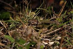 Tre le sterpi (_Fir3f0x2_) Tags: reptile sterpi lucertola rettile