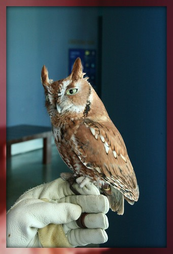 Screech Owl - IMG_4655 FRAME