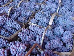 FPM81 Colheita da uva Niagara Rosada (Fernando Picarelli Martins) Tags: frutas uva grape louveira vitislabrusca jundiaí tablegrape uvademesa niagararosada mutaçãosomática