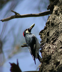 I GAWT SUMTIN STUCK IN MAH MOUTH! (BreakingWindPhotography) Tags: friends bird beautiful woodpecker randy 1001nights redcrested acornwoodpecker melanerpesformicivorus thegardenparty kroeker objektif inmouth simplynature flickrstars platinumphoto flickrgoldaward flickrhearts flickrbronzeaward flickrsilveraward bigseed flickrsspecial platinumheartaward platinumheartsaward flickrestrellas worldtrekker thesuperbmasterpiece spiritofphotography birdsinsideandoutside yourarthastouchedtheworld abovealltherest 100commentgroup universalelite paololivornosfriends doubledragonawards allkindsofmacrosandcloseups oohla