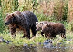 Those babies are watching you! (t i g) Tags: bear alaska fishing wildlife bears arl kindel specanimal photo365 vosplusbellesphotos photo365kindel