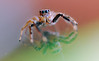 jumping spider on car windscreen (andrew webber2008) Tags: beautifulmonsters