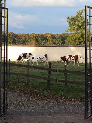 vaches de s moines.jpg