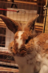 Licky Face... (Bactrian Arts) Tags: rabbit aka mr rabbits fastidious