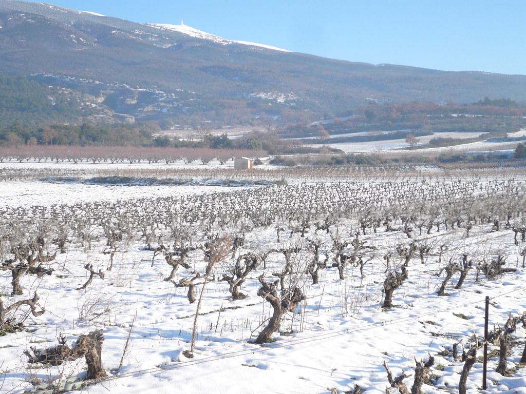 snow couguieux
