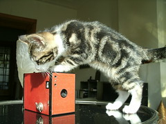 Kitten Koosje likes the new camera (Jo Hedwig Teeuwisse) Tags: uk 1920s red by vintage 1930s model key with kodak antique retro made f nostalgic brownie winding no2 19291931