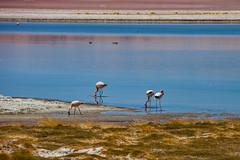 Searching for goodies. (david takes photos) Tags: losflamencosnationalreserve reservanacionallosflamencos salardetara tara atacama chile flamingo flamingoes sanpedrodeatacama regióndeantofagasta x