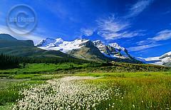 jnp0341_mtathabasca_jaspernationalpark (John E Marriott) Tags: mountain canada flower landscape rockies jasper scenic rocky canadian glacier alberta wildflower jaspernationalpark athabasca columbiaicefields subalpine