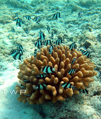 The Hangout (WanderWorks) Tags: white fish black nature coral marine underwater scuba diving tropical reef maldives dscn9956vc1g