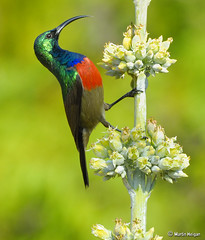 Double-collared Sunbird male on Kalanchoe luciae flowers (Martin_Heigan) Tags: camera winter flower male bird nature digital southafrica succulent nikon dof close martin zoom bokeh sunny double telephoto photograph flowering greater d200 blooms dslr kalanchoe collared afra sunbird pollination pollinating suidafrika sigma170500apo nikonstunninggallery suikerbekkie heigan cinnyris luciae vetplante wsnbg wh200 mhsetbirds mhsetflowers wimberleyheadversionii worldclassnaturephotoni 23may2009 kalanchoeluciaesubspluciae mhsetsucculemts