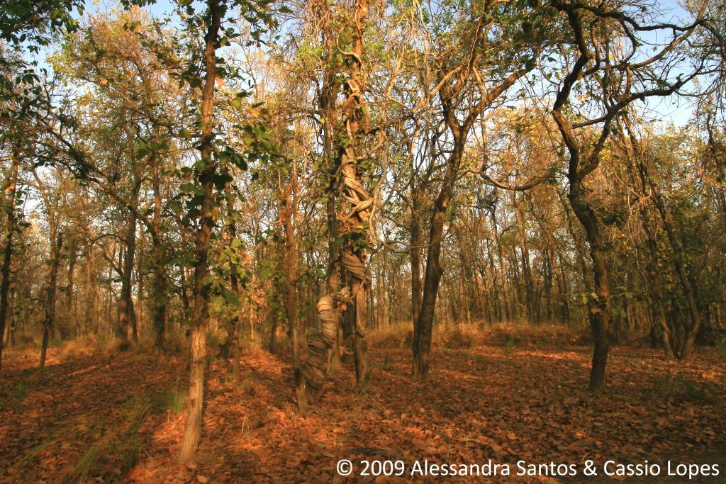 STRANGLER TREE_IMG_0536_F