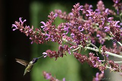 Costa's Hummingbird 050910-1-2 (luluhachidori) Tags: california pink orange bird canon eos hummingbird purple allens southern 7d annas costas  hibrid  allofnatureswildlifelevel1 allofnatureswildlifelevel2
