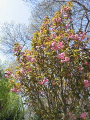 Cherry Tree (backfirecptn) Tags: pink sun flower tree sunshine cherry spring branch