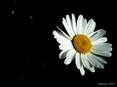 White (kezwan) Tags: white flower blomma gul kezwan 1on1flowers