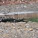 Wild crocodile lurking 10 metres away from us