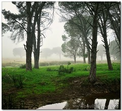 Foggy Forest (Panorama Paul) Tags: fog durbanville pineforest novideo nohdr nikfilters vertorama nikond300 wwwpaulbruinscoza paulbruinsphotography