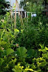 My jungle, my garden (laura.bell) Tags: food green vegetables garden backyard mine jungle growing organic veggies challengeyouwinner