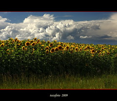 (tozofoto) Tags: light shadow summer sky storm flower field grass clouds canon landscape bravo hungary country sunflower stormcloud flowery zala natureselegantshots vosplusbellesphotos tozofoto artofimages bestcapturesaoi obramaestra