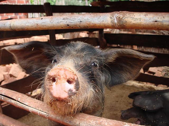 Pig one