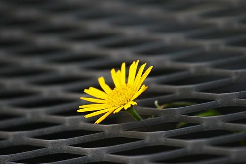 [フリー画像] 花・植物, キク科, タンポポ, 黄色の花, 201007240700