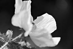 hidden (simis) Tags: light shadow blackandwhite flower bokeh monotone thistles fromarchives