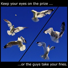 Eyes on the prize (Now and Here) Tags: blue sky food seagulls white toronto ontario canada look birds turn canon square fly concentration focus action fb gulls hunting flight dive competition powershot explore eat agility dodge prey seek collegiate hunters 1x1 competion predators navigate hunted mostviewed frenchfry sought agile eastyork compete eyci strive view500 fave10 fave50 sx110is fave25 nowandhere