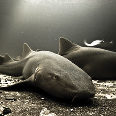 An ancestral fear (Lumase) Tags: sea nature topf25 water animal shark elba ray stingray nurseshark isoladelba seafloor bej anawesomeshot ginglymostomacirratum acquariodellelba squalonutrice