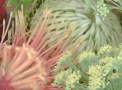 August 10, 2009 (creamy lemon) Tags: floraandfauna protea