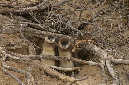 African penguin (jackass penguin)chicks  Boulders Beach Simons Town South AFrica