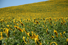 ... (Sara Povia) Tags: field yellow giallo tuscany sunflower campo toscana girasole girasoli viacassia