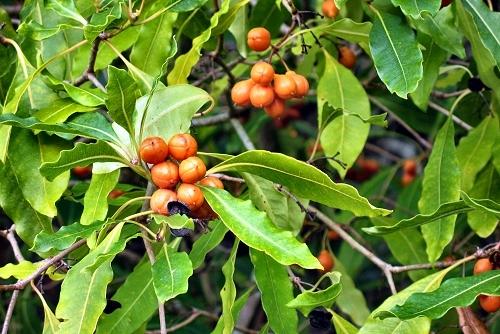 Pittosporum undulatum (rq) - 01